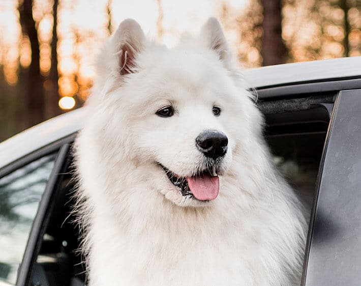 white dog sticking its head out the window